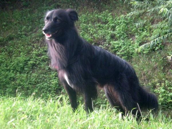 Гладкомордая пиренейская овчарка