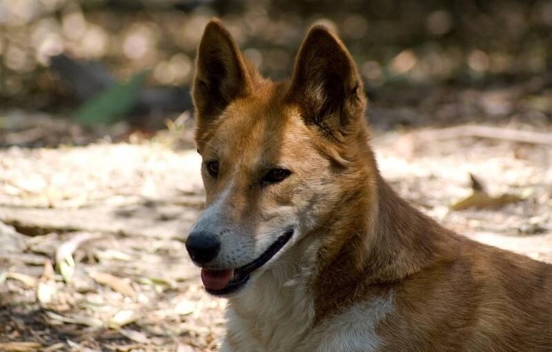 Каролинская собака