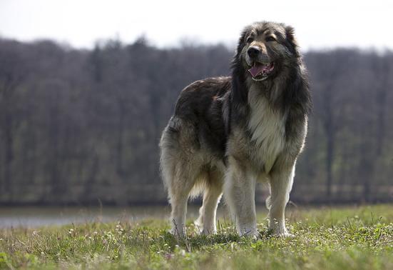 Карстская овчарка