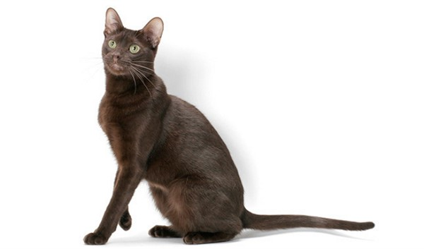 Кошки породы Гавана браун