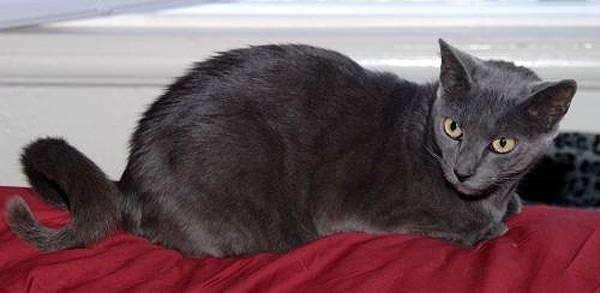 Кольцехвостая кошка или американский рингтейл