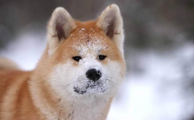 собаки айну