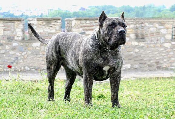 Канарская собака
